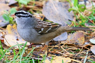 white-crowned sparrow at Lake Meyer Park IA 854A1319