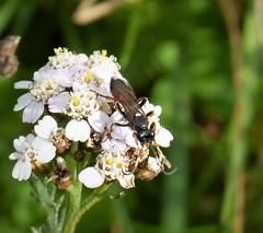 Ichneumon Wasp. Looks like Ichneumon suspiciosus? (gailhampshire) Tags: ichneumon suspiciosus