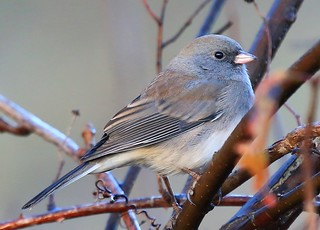 dark-eyed junco at Ludwig Park IA 854A1552