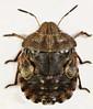 Eurygaster testudinaria, Cors Graianog, North Wales, Sept 2014 (janetgraham84new) Tags: eurygaster testudinaria scutelleridae
