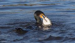 Cormorant vs The Flounder (Steve C Waddingham) Tags: stevenwaddinghamphotography bird british sea wild wildlife water nature northumberland countryside coast fish fishing river