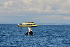 Orca (Andrew Acey) Tags: nikon d5100 orca whale watching prince whales vancouver island british columbia washington usa canada border georgia straight wild wildlife animals adventure travel nature