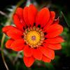 All Bright and Beautiful (Jocey K) Tags: gazanias newzealand nikond750 southisland christchurch monavale autumn flower