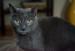 Old Sam (Shoots PENTAX) Tags: macrotakumar50mmƒ4 pentax pentaxk1 sam takumar animal cat feline manualfocus nature