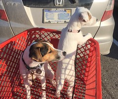 The puppies go shopping at Lowe's (marylea) Tags: puppy 9monthsold 1412weeksold dogs terriers shoppingcart grocerycart prt lowes puppies 2017 oct13 parsonrussellterrier iphone explore explored dooley maddy terrier parsonrussell dog jackrussell jrt jackrussellterrier