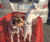 The puppies go shopping at Lowe's (marylea) Tags: puppy 9monthsold 1412weeksold dogs terriers shoppingcart grocerycart prt lowes puppies 2017 oct13 parsonrussellterrier iphone explore explored dooley maddy
