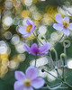 Bubble Bokeh and Border Flowers (Eden Bromfield) Tags: anemone anemonehupehensisvarjaponica flowers cultivatedflowers bokeh trioplan50 vintagelens flora bubblebokeh canada edenbromfield meyeroptik trioplan