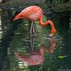 Mon beau miroir (musette thierry) Tags: parc zoo pairidaiza nature oiseau bird nikon musette thierry reflex 28300mm d600 falowme new rose