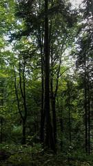 IMG_2632_DxO-fixed-2 (szczym) Tags: bieszczady poland light proste drzewa światło zza liści