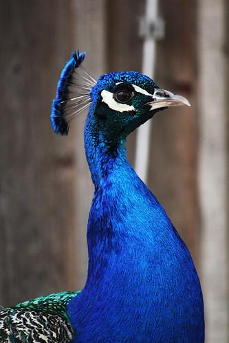 Der blaue Pfau