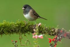 Dark-eyed Junco (Martin Dollenkamp) Tags: birds britishcolumbia canada darkeyedjunco juncohyemalis vancouver island perching