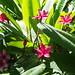 frangipáni / Plumeria
