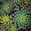 Mosaic Plant (CogSci Librarian) Tags: ludwigiasedioides mosaicplant sarahdukegardens sarahpdukegardens flowers