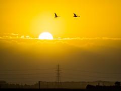 Silhouetted Swans (Nigel Wallace1) Tags: welney wildlife silhouette swan sunrise clouds bewick whopper sun sunbeams sunny early 7am field pylons migratory nature beautyinnature birds olympus omdem1mk11 40150
