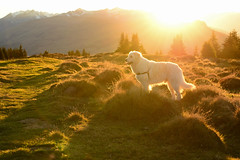 Abendspaziergang auf unserer Lieblingsalp (balu51) Tags: abendspaziergang abend sonnenuntergang gegenlicht landschaft berge alpweide alp hund kuvasz ungarischerhirtenhund weiss gelb herbst autumn evening sunset goldenhour backlight dog livestockguardingdog landscape mountain meadow forest sun golden yellow brown white grisons graubünden surselva oktober 2017 copyrightbybalu51