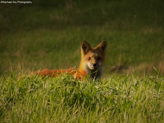Baby Fox (rachael242) Tags: baby fox wild wildlife animal portrait nature wood forest grass weeds green landscape golden fur looking stare nikon