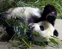 Bei Bei (Hiya YueYue! I just saw the pic that Auntie Kate posted of you. You sure look pretty. I'll share your bark if you share my boo. 🐼💙) 2017-05-10 at 10.58 AM (MyFoto:)) Tags: pandas cub endangered vulnerable beibei mammals giantpanda ailuropoda melanoleuca smithsonian nationalzoo nature conservationdependent wildlife zoologicalgardens washington dc eating bamboo