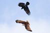 Crow V Kite (petefeats) Tags: accipitriformes accipitridae australia birds brahminykite brisbane corvidae corvusorru haliasturindus kingisland nature passeriformes queensland torresiancrow wellingtonpoint bif fight
