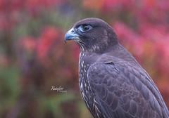 Falcon (Rainfire Photography) Tags: falcon gravenhurst muskoka bird portrait wildlife autumn fall gtccc ontario