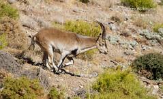 Iberian Ibex (Capra pyrenaica) (George Wilkinson) Tags: ibex caprapyrenaica spain sierra nevada granada wildlife mammal wild canon mountain 7d 400mm iberian