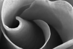 Orange Rose, using my Macro tubes. 😁📷😁 (LeanneHall3 :-)) Tags: blackandwhite rose rosepetal petals flower closeupphotography closeup macro macrotubes canon 1300d
