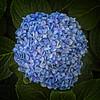 Petal Mosaic (MrBlueSky*) Tags: flower petal garden horticultural nature outdoor blue colour alentejo portugal canon canonm6 canoneos