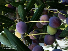 "IMG_4367_Olives (sdttds) Tags: pictureoftheday pod ""project 365"" 365 365in2017 2017 2017yip 27oct2017 olives fruit tree beauty leaves purple green"