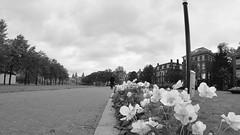 Flores em primeiro plano (André Felipe Carvalho) Tags: amsterdam preto branco holanda