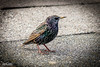 Starling - Crosby (1 of 1) (J Bloggs UK) Tags: starling bird wildlife crosby outdoors nature
