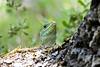 Lagarto (marín vaula) Tags: lagarto lizard verde green nature