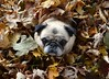 Peek-a-boo Bailey Puggins! (DaPuglet) Tags: pug pugs dog dogs animal animals pet pets autumn fall rake leaves fun leaf pile coth coth5 sunrays5 littledoglaughedstories