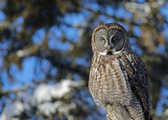 Great Gray Owl..#6 (Guy Lichter Photography - 3.7M views Thank you) Tags: canon 5d3 canada manitoba wildlife animals birds owls greatgrayowl