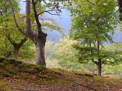Orozkoko pagadietatik zehar (josuneetxebarriaesparta) Tags: pagadia hayedo beech arboles trees zuhaitzak basoa monte forest paisaia paisaje landscape orozko basque euskadi basquecountry
