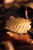 Autumn leaves (Giuseppe Moschetti.) Tags: giuseppe moschetti nikon d810 leaf autumn amazing trees countryside forest park zeiss milvus 135mm apo sonnar aposonnart2135 zf2 carlzeiss bokeh macro