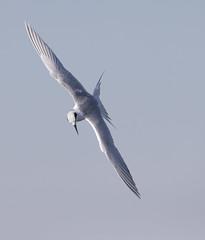 Tern (Mawrter) Tags: tern flight flying wingspan wings outspread wing wild wildlife free white action motion bird birding avian blue sky forsythenwr nj canon specanimal