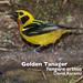 Golden Tanager, Tangara arthus