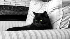 """It's my duty as a human being to be pissed off."" ―Eric Bogosian, subUrbia 🐈 (anokarina) Tags: appleiphonese highlands louisville kentucky ky kitten kitty black blackcat colorsplash bw grey grayscale blackwhite monochrome animal"