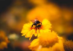 ...And it was all yellow. (janmalteb) Tags: bee biene flower blume gelb yellow macro bokeh canon eos 1000d 50mm