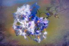 Pretty blue flowers - Colliour (Bobinstow2010) Tags: france pyrenees blue colliour arty topaz photoshop