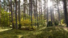 Darsser Wald (MR@tter) Tags: 169 bäume darsserort deutschland gegenlicht mecklenburgvorpommern natur wald bornamdars de forest backlight sigma1770 geotagged