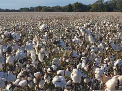 Way Down Here in the Land of Cotton (BKHagar *Kim*) Tags: bkhagar cotton field cottonfield southernsnow crop farm farmer farming season al alabama limestonecounty