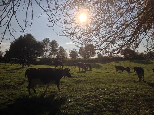 windrather kühe