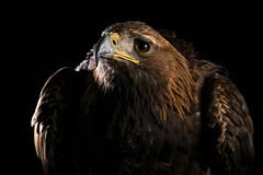 Ruffled (hehaden) Tags: bird birdofprey raptor eagle goldeneagle aquilachrysaetos studio captivelight libertysowlraptorreptilecentre ringwood hampshire