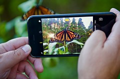 Capturing the beauty of Monarch in stereo! (ineedathis, Everyday I get up, it's a great day!) Tags: monarch prestene female butterfly life insect πεταλουδα λεπιδοπτερα lepidoptera love newborn danausplexippus macro nature garden autumn closeup black yellow nikond750 iphone cellphone apple hands myson wings milkweed plant leaves green orange sunset white balck