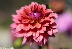 Lensbaby Sweet 50 (Barbara.Elizabeth) Tags: