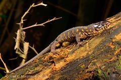 Yellow-spotted night lizard (SVALDVARD) Tags: svaldvard svaldvardink lizard herptología herpetology nicaragua