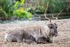 2017-10-08-12h46m21.BL7R4765 (A.J. Haverkamp) Tags: canonef100400mmf4556lisiiusmlens amsterdam noordholland netherlands zoo dierentuin httpwwwartisnl artis thenetherlands rendier rangifertarandus reindeer nl