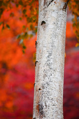 October rain and shine 2 (James_D_Images) Tags: tree trunk bark bokeh autum fall colour leaves foliage orange red rain overcast spokane washingtonstate 2016
