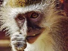 "Vervet Monkey • <a style=""font-size:0.8em;"" href=""http://www.flickr.com/photos/152934089@N02/23762022068/"" target=""_blank"">View on Flickr</a>"