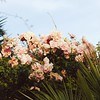 62 of 365 (Chat-Lunatique) Tags: instagram squared square nature flowers outdoor romantic stilllife lifestyle feminine mood light bokeh 50mm canon roses wildroses summer pink millennialpink sky